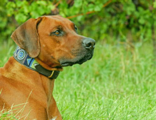 Do Dogs Eat Grass Because They're Sick?